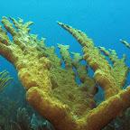 Elkhorn coral @ Willemstoren lighthouse