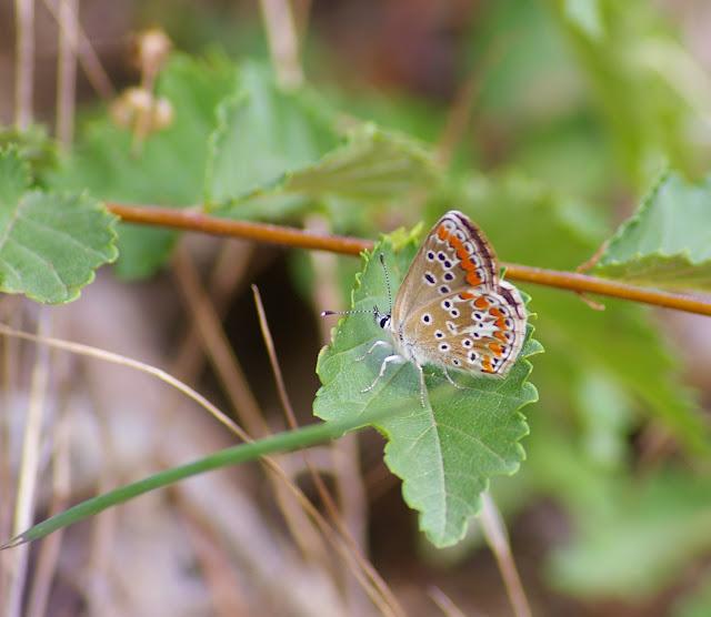 Aricia agestis (Denis & Schiffermüller, 1775), femelle. Les Hautes-Lisières, 29 juillet 2010. Photo : Jean-Marc Gayman