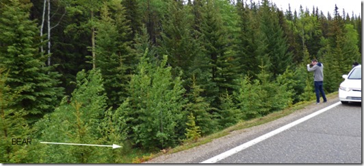Bear (really, follow arrow), Jasper National Park