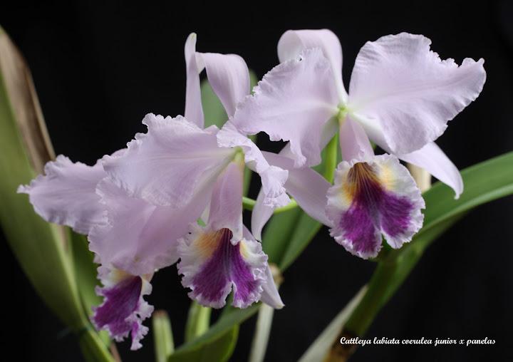 Cattleya labiata coerulea junior x panelas IMG_6755b%2520%2528Large%2529