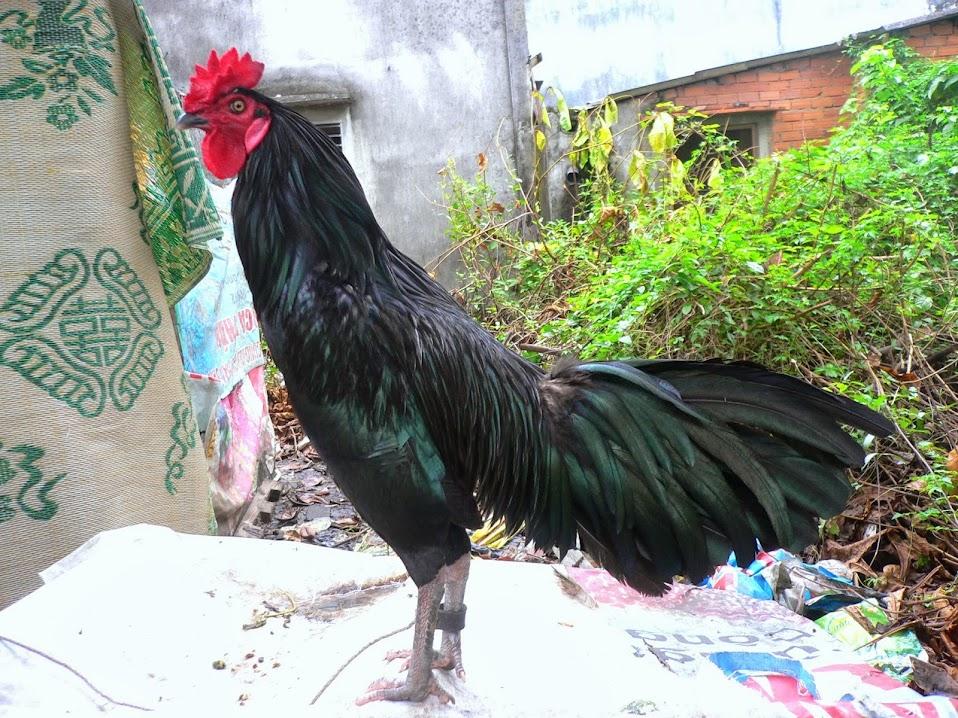Kết quả hình ảnh cho con gà là gì