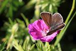 Eumedonia eumedon2.jpg