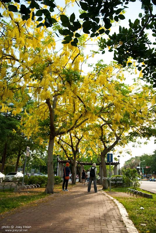 黃金雨 阿勃勒 興大路 中興大學 2016