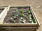 Jutta hat schon Gemüse gepflanzt!