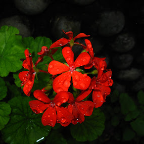 Rain drenched  by Hrijul Dey - Flowers Flower Arangements ( red, floral, green leaves, raindrops, red flower, flash,  )