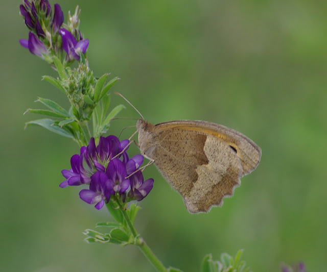 Maniola jurtina L., 1758, femelle. Les Hautes-Lisières (Rouvres, 28), 20 juin 2011. Photo : J.-M. Gayman