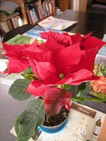 Poinssettia 2