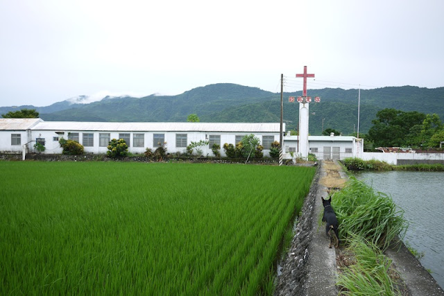 dog walking next to rice paddy field near a church in Yuli, Taiwan