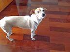 22-01-2014 Edelzia Angeli <edelziama@uol.com.br>  Telefone: 19  3371-2613  Algum tipo de Identificação?: branco mancha na cabeca  Sexo do Animal: fêmea  Idade aproximada do Cão: 8  Principais características  Porte: pequeno Cor Predominante: branca Temperamento: dossil Local que o cão foi perdido: perdido  na Av Paulo de Moraes