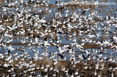Thousands of snow geese have been at the forefront on the 2018 migration. Held up in Iowa for a bit longer as frozen lakes have not thawed to our north.