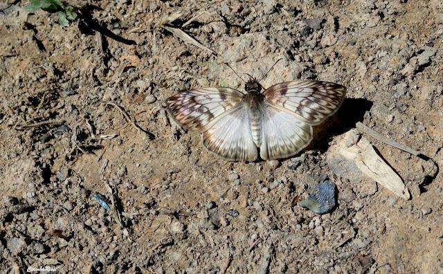 Mylon maimon (FABRICIUS, 1775). Rio Teles Pires, município de Nova Canaã do Norte (Mato Grosso, Brésil), 11 juin 2011. Photo : Cidinha Rissi