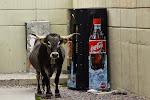 Cola Cow