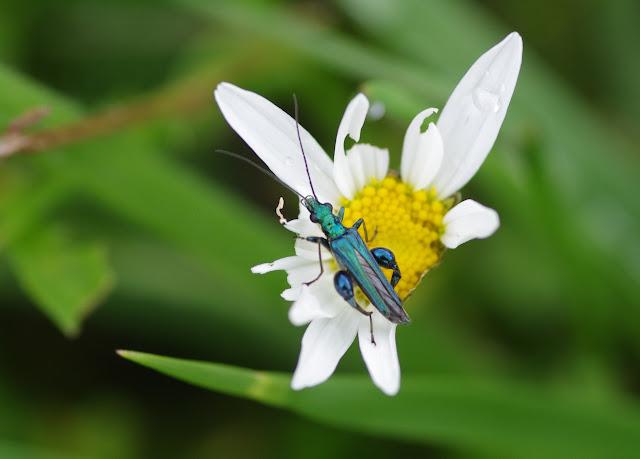 Oedemeridae : Oedomera nobilis (SCOPOLI, 1763). Les Hautes-Lisières (Rouvres, 28), 11 juin 2012. Photo : J.-M. Gayman