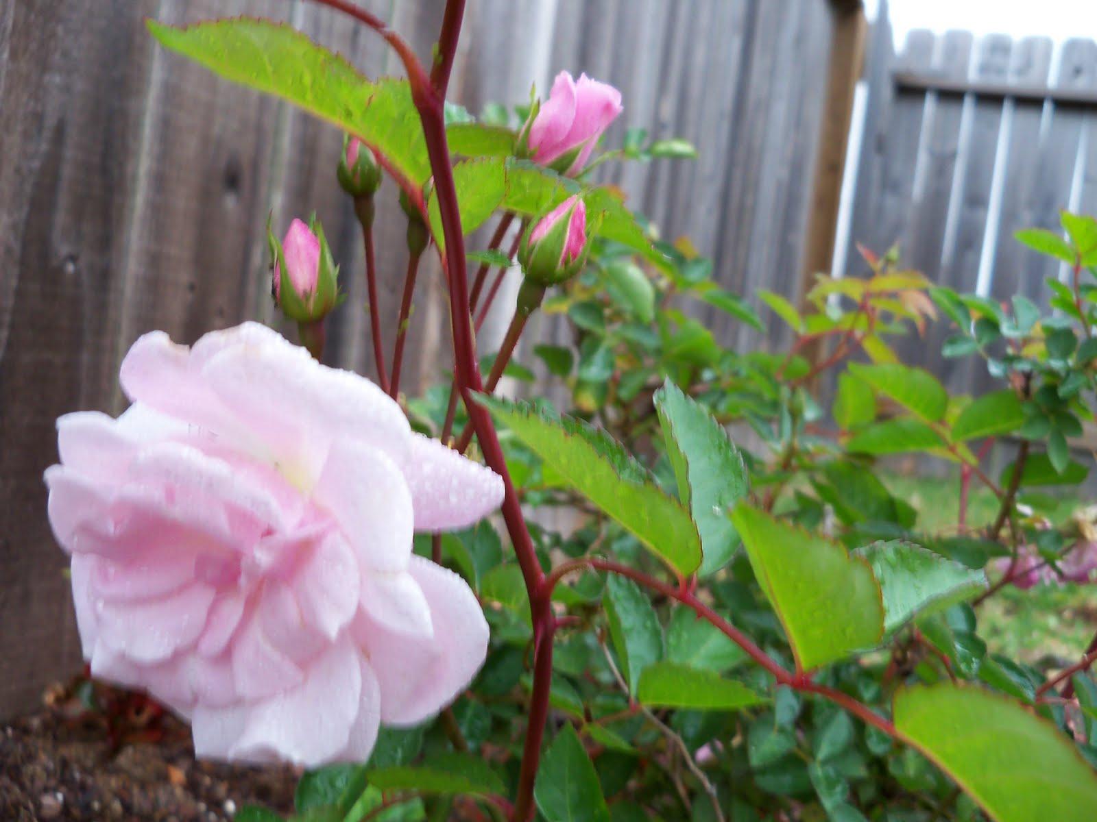 Gardening 2010 - 101_0538.JPG