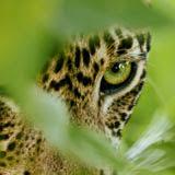 leopard%2Beye.jpg