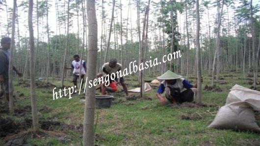 Kerjasama Investasi Sengon