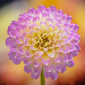 Purple Flower by Jim Downey - Flowers Single Flower ( orange, dahlia, yellow, purple, petals )