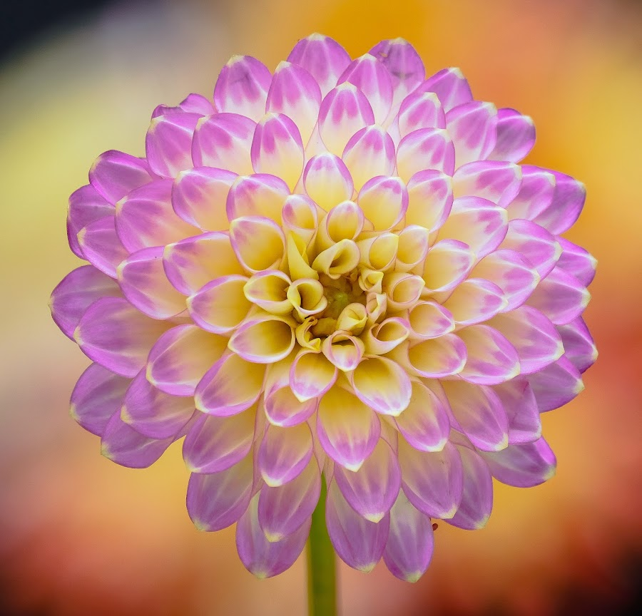 Purple Flower by Jim Downey - Flowers Single Flower ( orange, dahlia, yellow, purple, petals )
