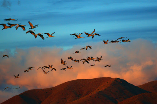 Sandhill cranes fly out in the morning at Bosque del Apache National Wildlife Refuge. Photo Marvin de Jonge