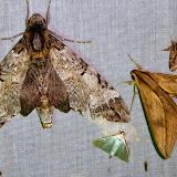 À gauche : Pseudosphinx tetrio (Linné, 1771), femelle ; à droite : Xylophanes anubus (Cramer, 1777), mâle. San Juan, près de Caranavi, 1000 m (Yungas, Bolivie), 24 décembre 2014. Photo : Jan-Flindt Christensen