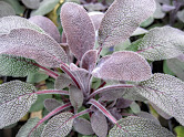 SAGE- Used to treat sprains, swelling, ulcers, and bleeding. Teas made from sage leaves are used to treat sore throats and coughs. It's been noted for strengthening the nervous system, improving memory, and sharpening the senses.