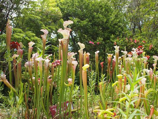 [写真]食虫植物の……なんだっけ?