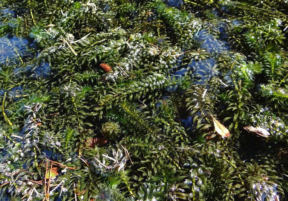 Элодея денса (Элодея густая) (Egeria densa)