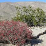 Chuparosa bush