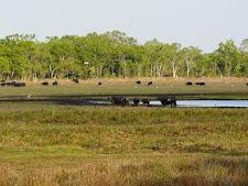 wildlife-water-buffalo-15.jpg