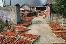 Yangshuo : au sud de la ville, séchage de kakis