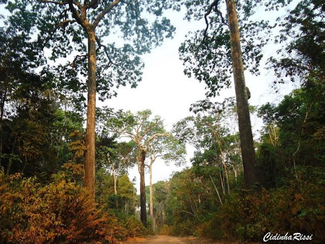 La forêt amazonienne entre Itauba et Marcelândia, au nord du Mato Grosso (Brésil), 6 septembre 2010. Cette forêt demeure préservée parce qu'elle est productrice de noix brésilienne ou noix d'Amazonie (castanha-do-Pará, en portugais), noix de l'arbre Bertholletia excelsa (Lecythidaceae). Photo : Cidinha Rissi