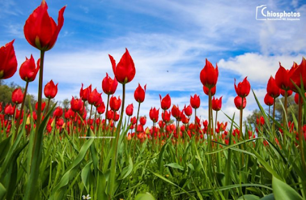 """Τα τέσσερα σπάνια είδη τουλίπας που φυτρώνουν στην Χίο - Γιατί ονομάζονται """"λαλάδες"""""""