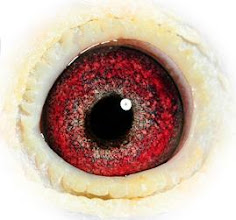 Photo: El ojo de una gran hembra reproductora raza: Janssen/Stichenbault.