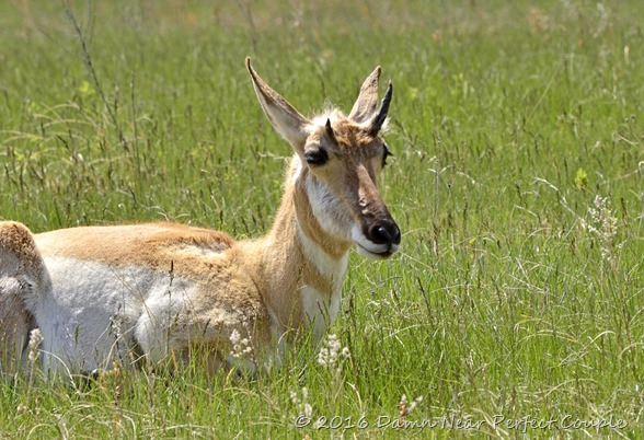 Custer SP Female Pronghorn