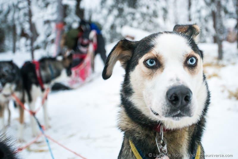 Husky dog Lapland blue eyes