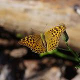 Argynnis paphia (L., 1758), femelle. Cocurès, 620 m (Lozère), 6 août 2013. Photo : J.-M. Gayman