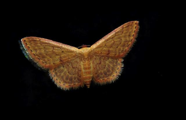 Geometridae : Sterrhinae  Idaea inversata GUENÉE, 1857. Umina Beach (N. S. W., Australie), 14 janvier 2012. Photo : Barbara Kedzierski