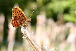 Rødlig perlemorsommerfugl12.jpg