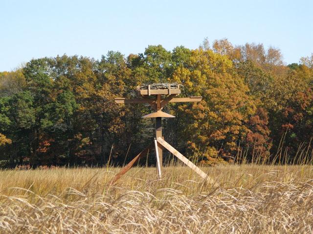 Guilford Salt Meadow Sanctuary Osprey Platform - sfs%252C10-25-09%2Bosprey%2Bplatform%2Binstall%252C141.JPG