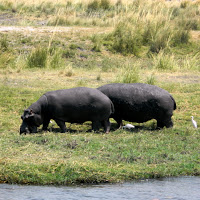 Hippos on the banks of the Chobe