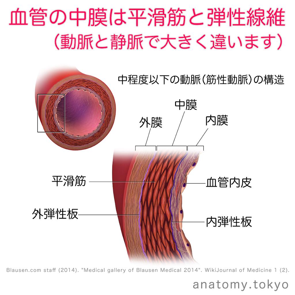 t212-03-血管中膜は平滑筋と弾性線維からなる.png