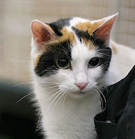 Bobtail japonés. Fiel Mascota