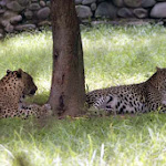 chattbir zoo leopards.jpg