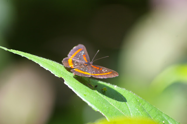 Amarynthis meneria CRAMER, 1776. Saül (Guyane). 30 novembre 2011. Photo : J.-M. Gayman