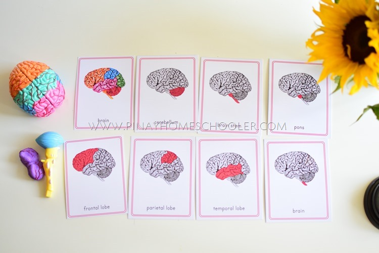 Human Brain Learning Materials