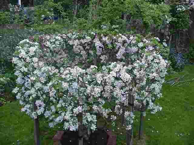 Cordone divisorio strana potatura a spalliera delle for Piccoli alberi da frutto