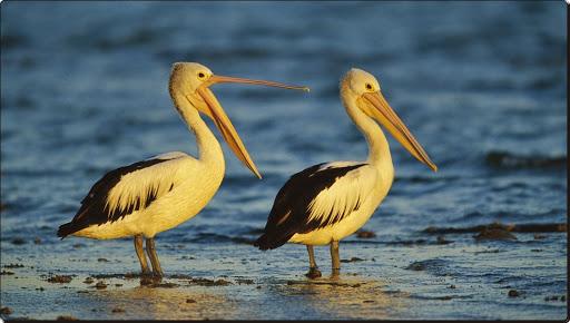 Australian Pelicans, Sydney, Australia.jpg