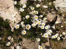 paquerette des alpes Chrysanthemum alpina Asteracees.JPG
