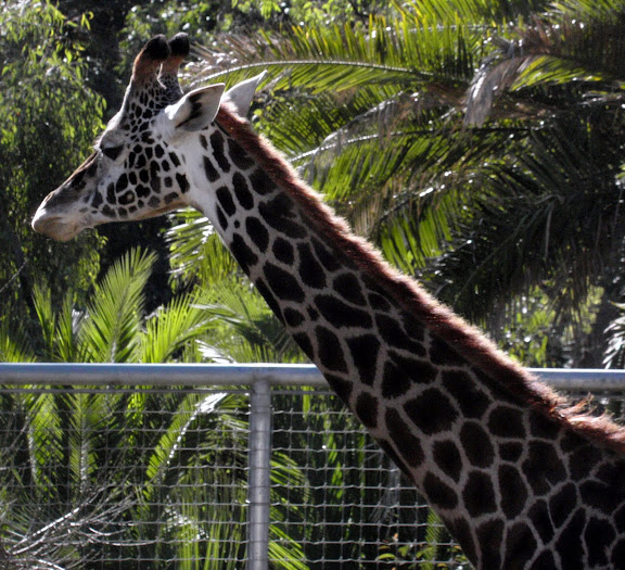 Giraffes and Zebras, mainstays of every self-respecting zoo.