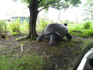 2016.05.24-012 tortue sur le parcours de la rivière enchantée